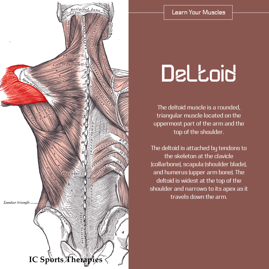 Your Monday Muscle 2 The Deltoid Ic Sports Therapies