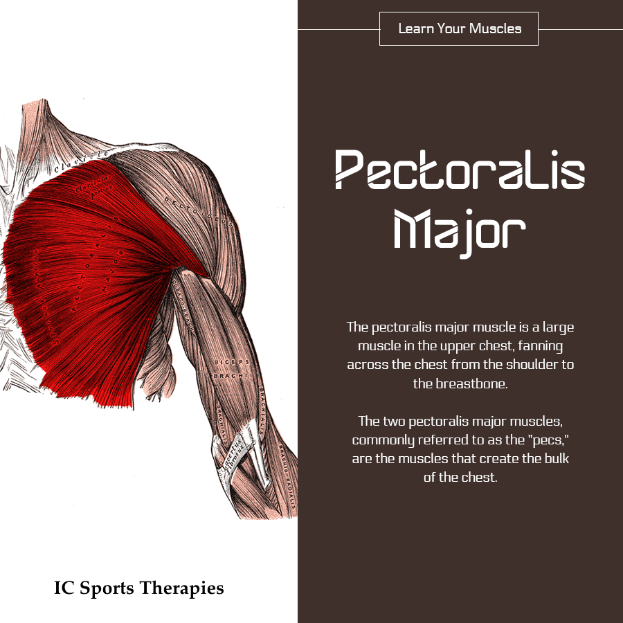 Your Monday Muscle   3 Pectoralis Major