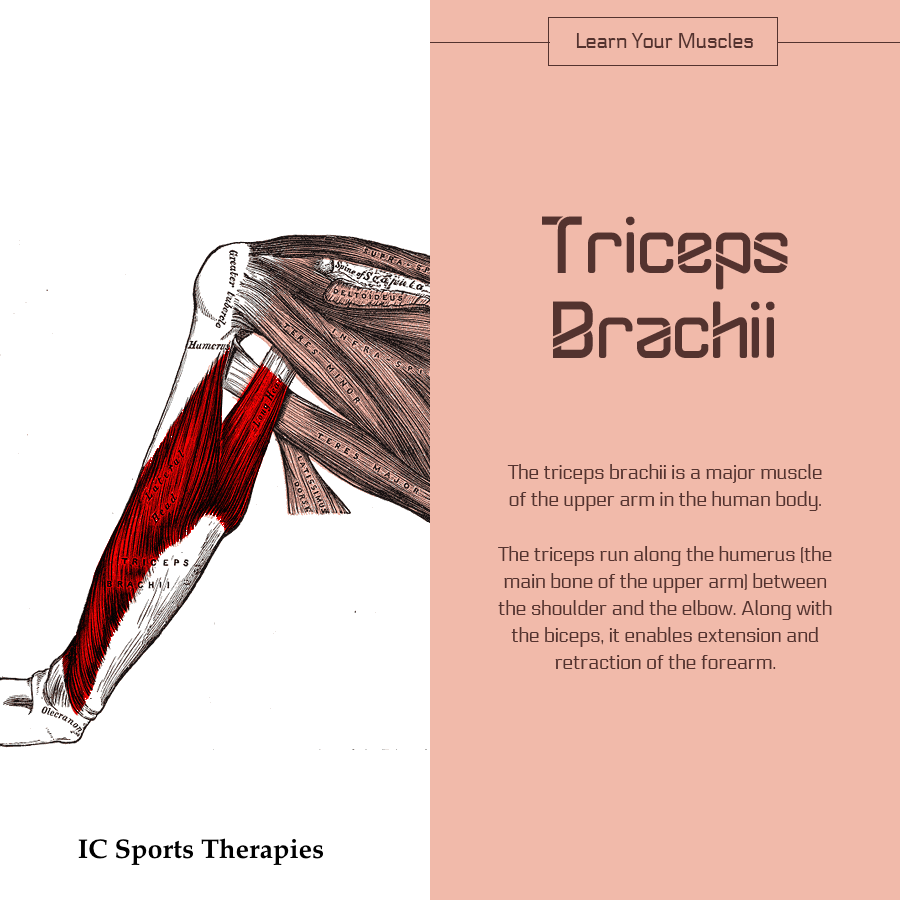 Your Monday Muscle 5 Triceps Brachii Ic Sports Therapies