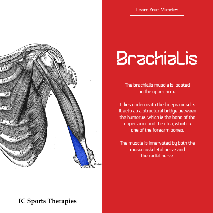 Your Monday Muscle: #6 Brachialis - IC Sports Therapies