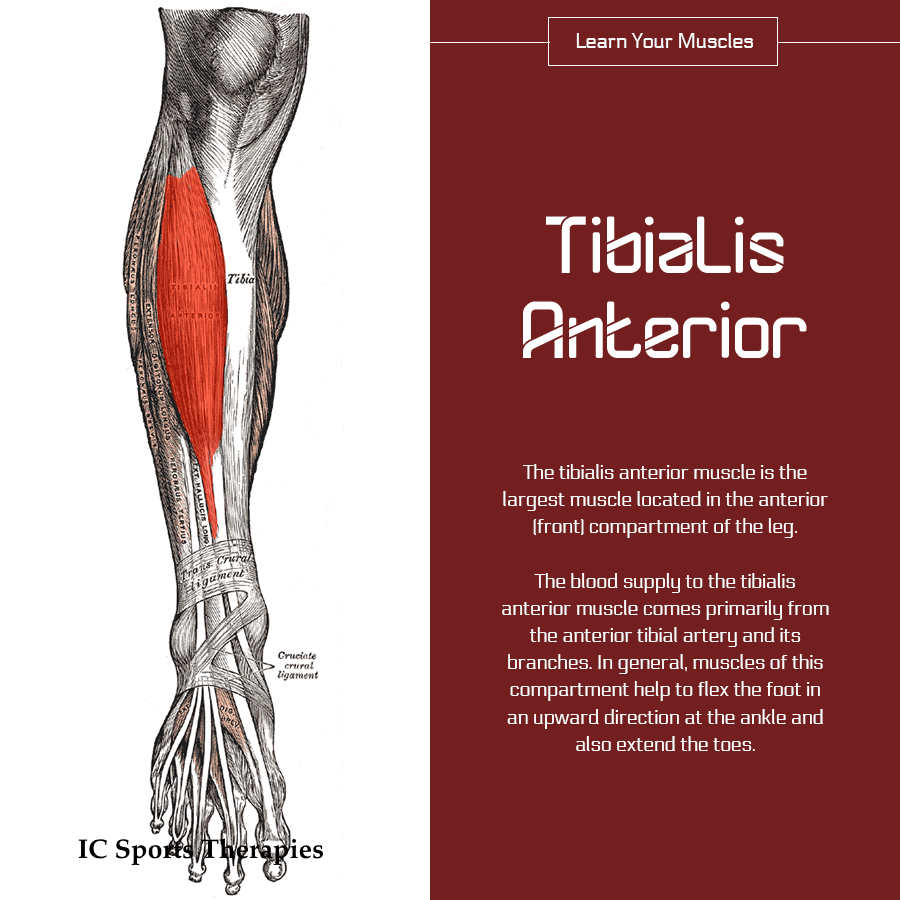 Your Monday Muscle 9 Tibialis Anterior Ic Sports Therapies
